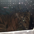Terkena Jerat, Harimau Sumatera Berhasil Diselamatkan