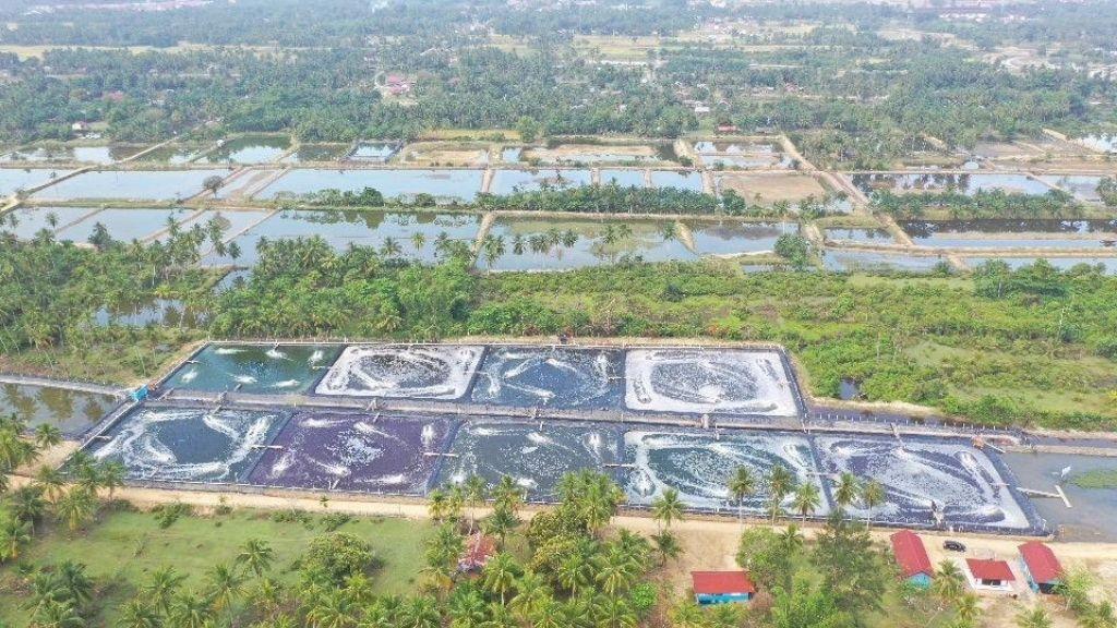Aceh Timur : Tambak Udang Model Klaster Tahun 2020 Mulai Panen